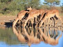 Impala - przyroda od Afryka - brylantów kolory i sztuka ziemia Obrazy Royalty Free