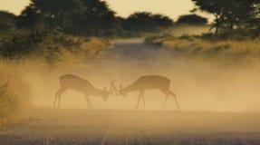 Impala - przyrody tło - Walczyć barany zdjęcie royalty free