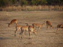 Impala and puku Royalty Free Stock Images