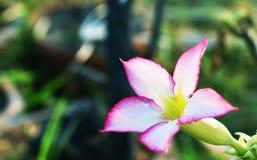 Impala pustyni lub lelui róża lub egzamin próbny azalia, piękne menchie kwitniemy w ogródzie fotografia royalty free