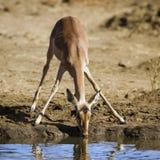 Impala que bebe en el riverbank en el parque nacional de Kruger Fotografía de archivo libre de regalías