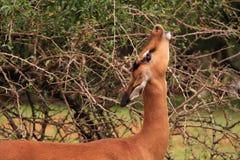 Impala que come de arbusto de la espina Fotografía de archivo libre de regalías