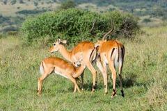 Impala que mama e que cheira imagens de stock royalty free