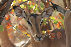 Impala que pasta Foto de Stock Royalty Free