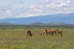 Impala que pasta entre wildflowers no savana Imagens de Stock Royalty Free