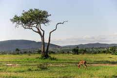 Impala que pasta no parque nacional de Maasai Mara com uma árvore grande e em montanhas no fundo (Kenya) Imagem de Stock Royalty Free