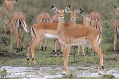 Impala que se coloca en la lluvia imagenes de archivo
