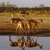 Impala, równiny impala gemowi odbicia w wodzie zdjęcie royalty free