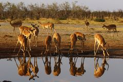 Impala, równiny impala gemowi odbicia w wodzie zdjęcie stock