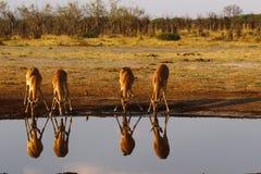 Impala, równiny impala gemowi odbicia w wodzie obrazy royalty free