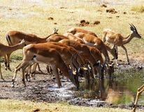 Impala, równiny gra pije wpólnie zdjęcia royalty free