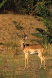 Impala Ram Stock Images