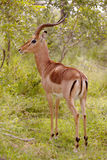 Impala Ram Royalty Free Stock Photography