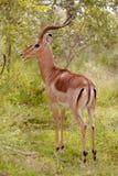 Impala Ram royalty free stock photography
