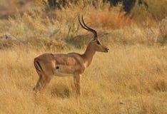 Impala ram. In botswana,africa royalty free stock photography