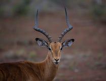 Impala-RAM Lizenzfreies Stockbild