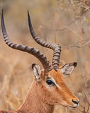 Impala Ram Aepyceros melampus. Photographed in Kruger National Park South Africa Royalty Free Stock Photography