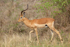Impala Ram Stock Photos