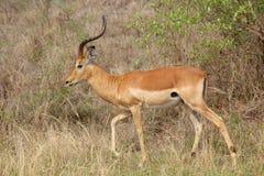 Impala Ram stock photos