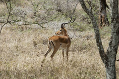 Impala ram alert Royalty Free Stock Photo
