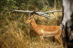 Impala ram Stock Photography