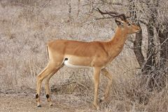 Impala Ram Browsing Royalty Free Stock Photos