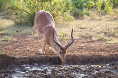 Impala ram down on his knees drinking water at sunset. In a small pool Royalty Free Stock Photo