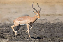 Impala ram drink water from pond with risk of crocodile Stock Photo