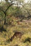 Impala ram feeding Stock Photo