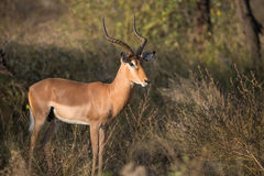 Impala-RAM im Nationalpark Kruger Stockfotografie