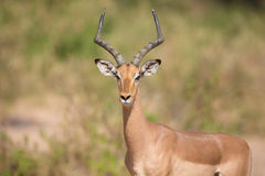 Impala ram looking for possible danger portrait Royalty Free Stock Photos