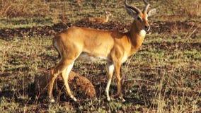 Impala Ram Motionless in Afrika stock footage