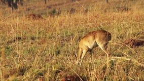Impala Ram Motionless em África video estoque