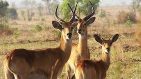 Impala Ram Motionless en Afrique banque de vidéos