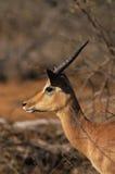Impala Ram Portrait Royalty Free Stock Image
