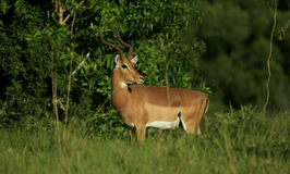 Impala ram portrait. An Impala ram antelope poses in South Africa while on safari Stock Images