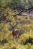 Impala ram Stock Photography