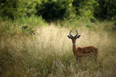 Impala ram Royalty Free Stock Images