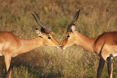 Impala rams Royalty Free Stock Photography
