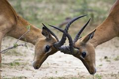 Impala Rams (Aepyceros melampus) Stock Images