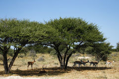 Impala rams. In Botswana Africa under acacia thorn trees royalty free stock image