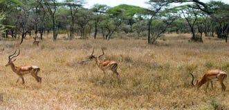 Impala rams Royalty Free Stock Photo