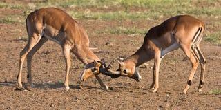 Impala rams fighting. In the dusty savanna Royalty Free Stock Photos
