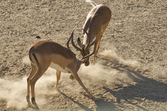 Impala Rams Sparring Stock Photography
