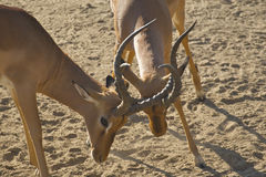 Impala Rams Sparring Stock Images
