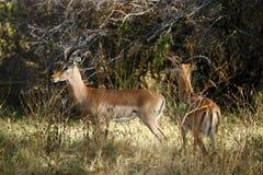 Impala rams. Two impala rams in botswana,africa Stock Photos