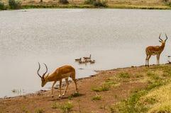 Impala am Rand eines waterhole mit Enten und anderen Vögeln herein Stockbilder