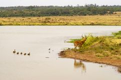 Impala am Rand eines waterhole mit Enten und anderen Vögeln herein Lizenzfreie Stockfotos