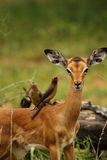 Impala and Red Billed Ox Peckers royalty free stock image