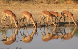 Impala - ritratto e riflessione della famiglia Fotografia Stock Libera da Diritti
